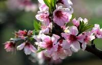 桃花的功效与作用 桃花的禁忌