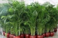 散尾葵和凤尾竹的区别 散尾葵和凤