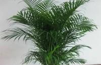 散尾葵的作用与功效