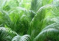 散尾葵的养殖方法和注意事项