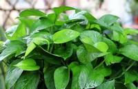 绿萝叶子发黄怎样救治 如何让绿萝叶子变油绿