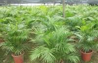 散尾葵和凤尾竹的区别 散尾葵的功