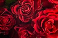 玫瑰花瓣落了一地,花语自会懂得人语