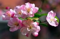海棠花的养护技巧,对空气中有害气体