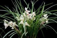 养殖兰花的场所对于兰花的生长至关重要 兰花的养护方法