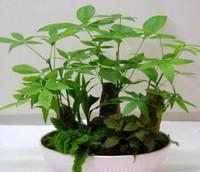 发财树怎么养才茂盛,发财树的养殖方法