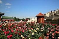 不同颜色月季花的花语,代表着不一样的意义