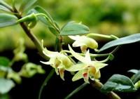 石斛在家怎么种植,养起来没有其它花卉那么容易的