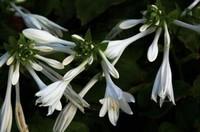 玉簪花的四大功效与作用,清热解毒调经止带