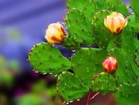 仙人掌的药用价值和保健价值
