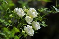 木香花的养护技巧和注意事项,养花新