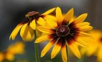 黑心菊种子的种植栽培方法与技巧以及黑心菊的繁殖方法