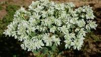 银边翠的植物信息与银边翠的病虫害