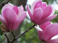 木兰花的花语是什么木兰花除了观