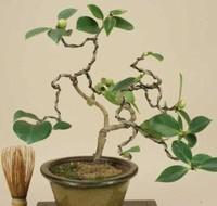 3种超简单的茶花繁殖方法任你选 养成造型漂亮的茶花树盆景!