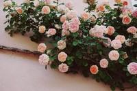 蔷薇花的花语和不同颜色的蔷薇花的