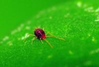 红蜘蛛用什么药最有效,怎么清除红蜘