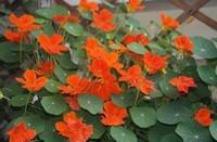 旱金莲的种植栽培要点以及旱金莲的繁殖方法