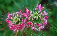 醉蝶花的种植栽培方法以及醉蝶花栽培的注意事项