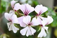 天竺葵的播种,苗期管理,栽培管理,超详