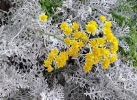 银叶菊的种植方法以及种植栽培技术