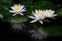 睡莲的花语和传说以及寓意,圣洁之物