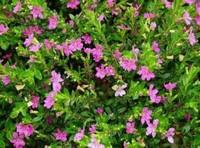 紫萼距花冬天养护的五大方法,利于植