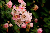 蔷薇花的种植栽培,繁殖方法,中出好看