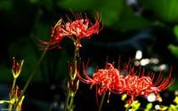 彼岸花的种植栽培方法,尽量在春秋季