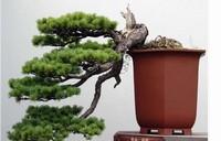 松树来做盆景十分适合,那么松树盆景怎么养护呢