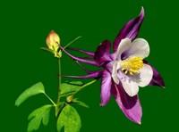 紫色耧斗菜的花语以及传说,紫色耧斗