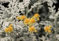 银叶菊的养护技巧与方法,银叶菊是重