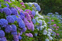 绣球花的养护技巧,它喜欢温暖湿润并且半阴暗的养殖环境