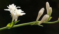 晚香玉的养护方法和注意事项,重要的切花之一