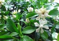 室内养山茶花,需要主要这些,要不花蕾可能会掉光,你都知道吗?