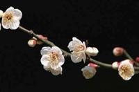 梅花的花语,梅花象征的意义和品质