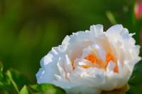 牡丹开花后该如何修剪如何养护 除