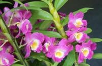石斛兰常见四大功效与作用,美化环境防病治病