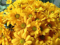 菊花病虫害及其防治方法,栽培中的重