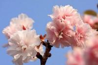 樱花的食用方法和功效及作用以及代表,不是所有的樱花都可以食用