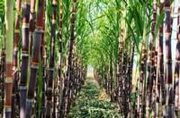 甘蔗的种植技巧 甘蔗种植技术和管理