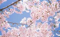 在家种植盆栽樱花的养护技巧,春天的代表,美丽的化身