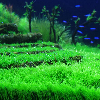 水草是观赏鱼缸必不可少的装饰物之
