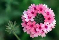 种植栽培美女樱的六大方法与技巧,你都知道吗?