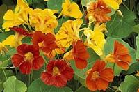 旱金莲常见的病虫害以及防治方法,新手必看