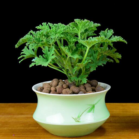 在家里种植一些驱蚊草 比花露水还好使扦插驱蚊草的小诀窍