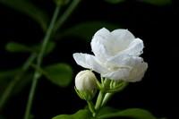 论素馨花和茉莉花在古代女性生活中的应用,快来看看你都知道哪些?