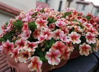 养护技巧:这8种花的基本上把它们扔