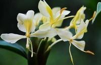 姜花的五大养护方法与技巧,可以和茉莉花栀子花相比的花