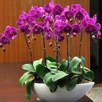 最简单蝴蝶兰家庭养法,蝴蝶兰的养殖方法和注意事项